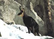 Una cabra montés en el parque natural de Stelvio