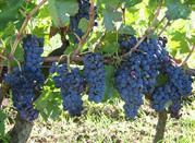 Uvas Aglianico