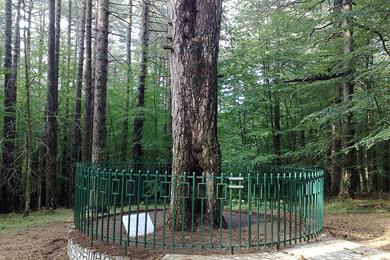 L'albero in cui fu adagiato Garibaldi ferito