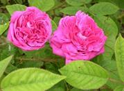 Cosa fare in vacanza a giugno? La Festa delle Rose – profumare l'anima - Busalla