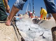 """Was zu machen in den Ferien in Juni? - das """"Girotonno"""" von Carloforte, auf der Insel San Pietro in Sardinien - Carloforte"""