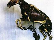 Museo di Anatomia degli Animali di interesse medico-veterinario - Parma