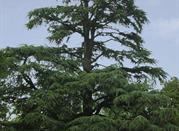 Cedro del Libano - Varese