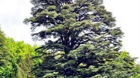 Cedro nel Parco Ducale
