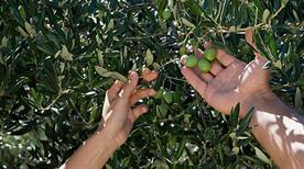 Oleificio Del Golfo Sas Di Forte G.&C. - >Formia